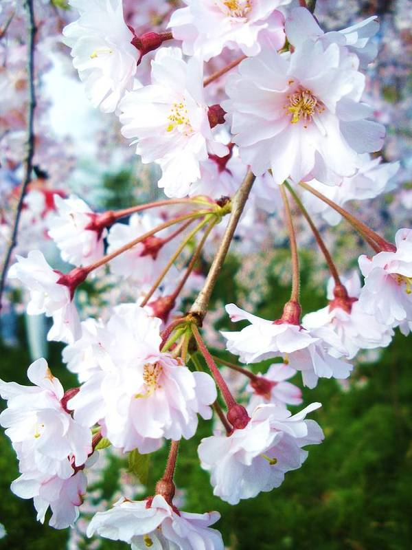 Flowers Poster featuring the photograph Cherry Blossom Closeup by Jeanette Oberholtzer