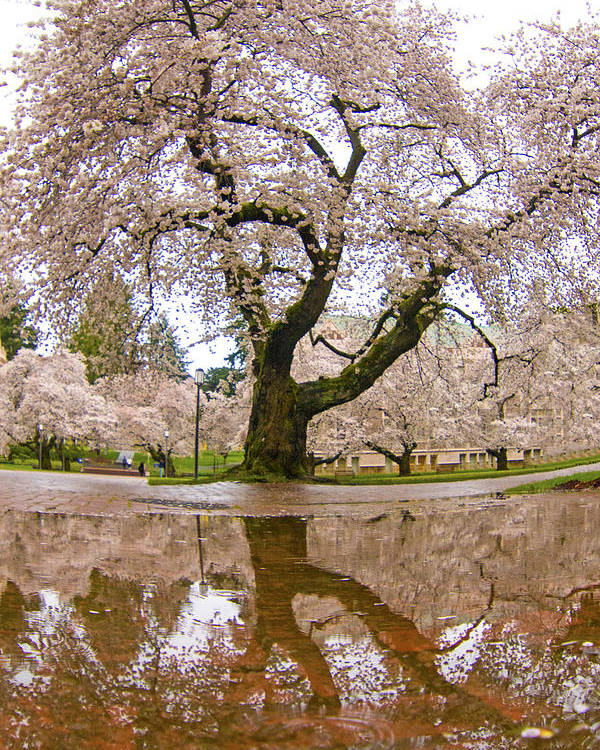 Seattle Poster featuring the photograph Cherry Blossom Reflection by Matt McDonald