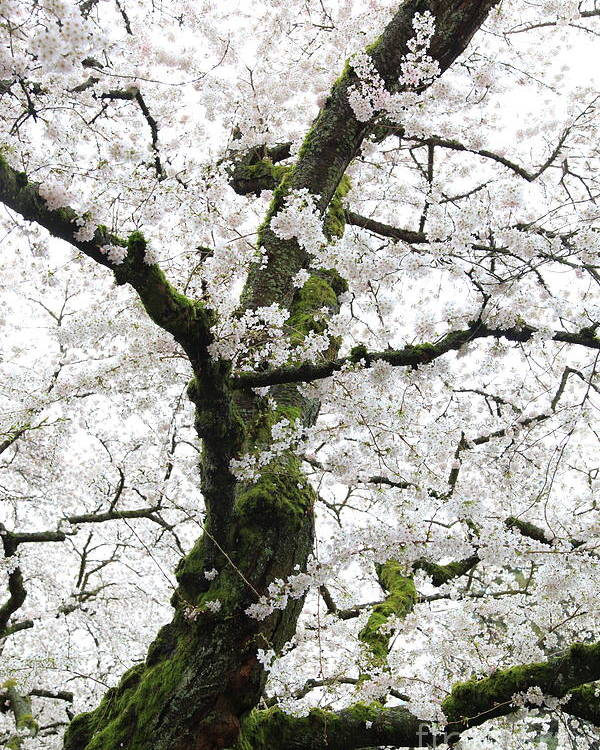 Cherry Blossoms Poster featuring the photograph Cherry Blossoms 119 by Peter Simmons