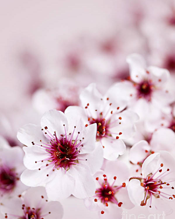 Cherry Blossom Poster featuring the photograph Cherry Blossoms by Elena Elisseeva