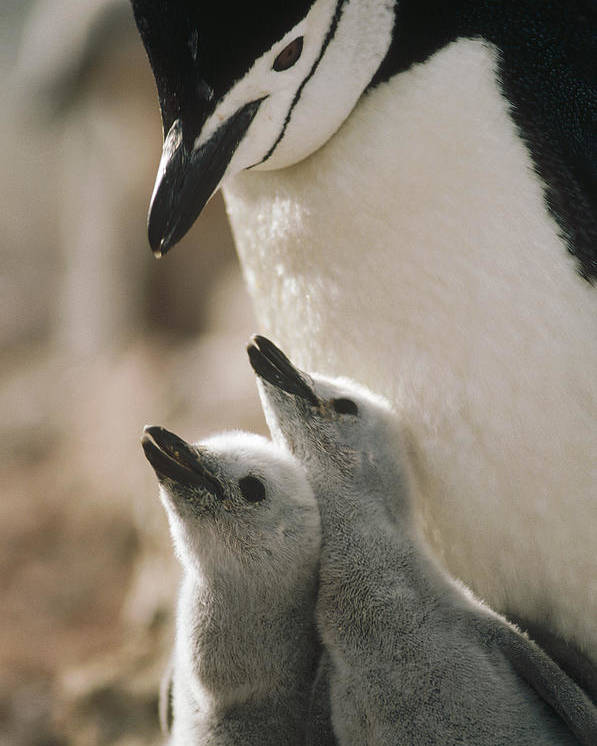 Mp Poster featuring the photograph Chinstrap Penguin Pygoscelis Antarctica by Tui De Roy