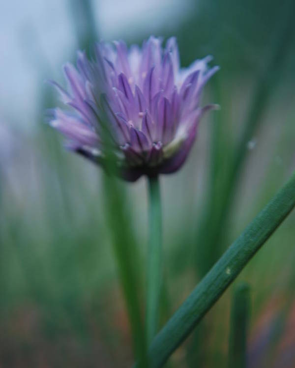 Nature Poster featuring the photograph Chive Flower 2 by Lisa Gabrius