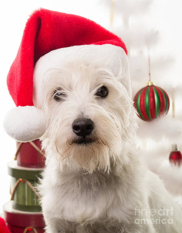 Christmas Poster featuring the photograph Christmas Elf Dog by Edward Fielding