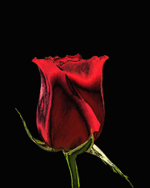Rose Poster featuring the photograph Chromatic Rosebud by Kristin Elmquist