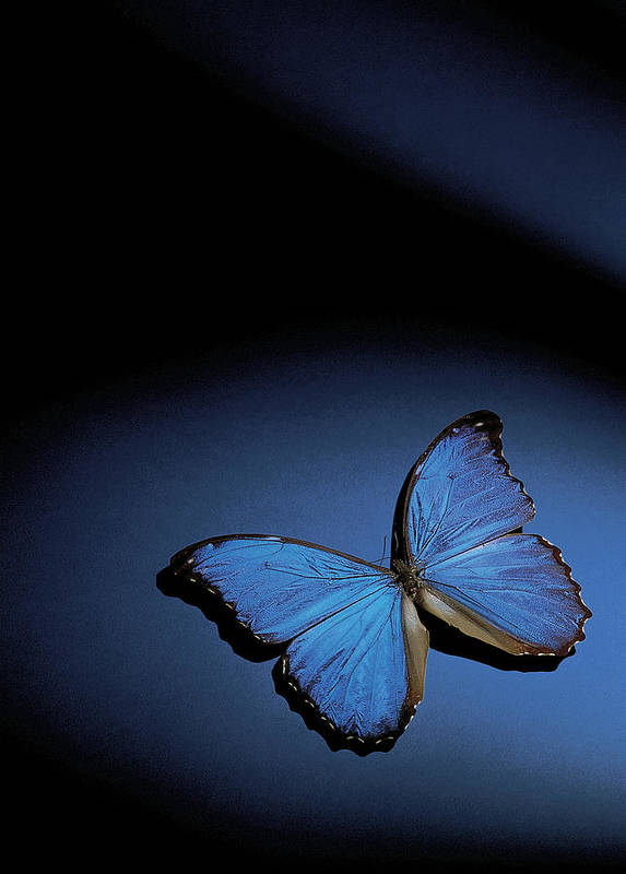 Vertical Poster featuring the photograph Close-up Of A Blue Butterfly by Stockbyte