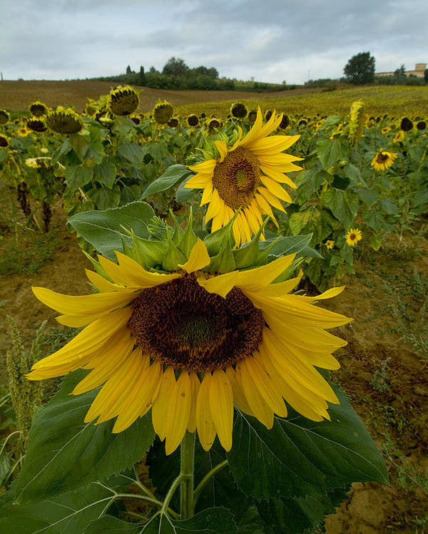 Sunflowers Poster featuring the photograph Close View Of A Sunflower At The Edge by Todd Gipstein