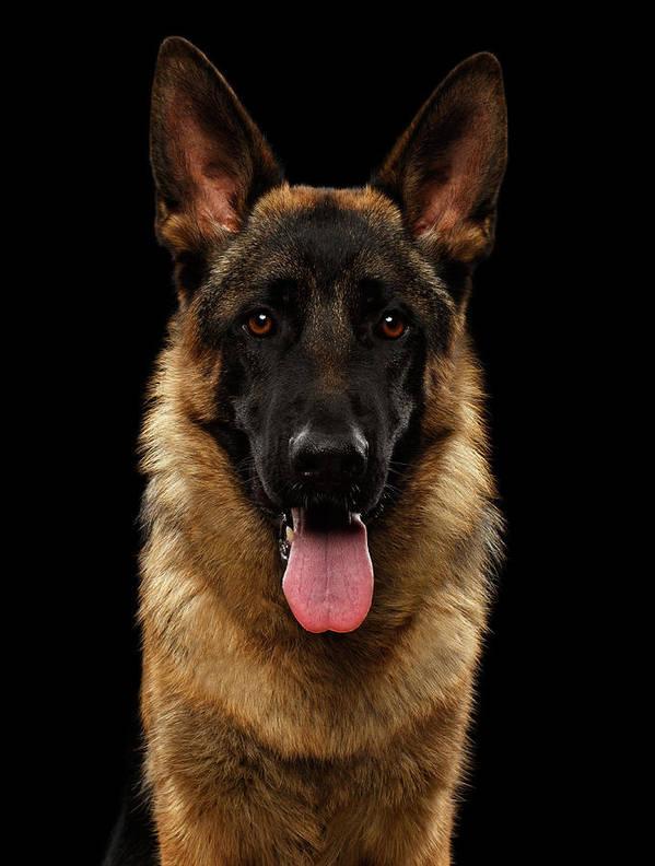 Dog Poster featuring the photograph Closeup Portrait of German Shepherd on Black by Sergey Taran