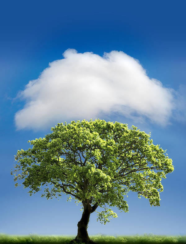 Tree Poster featuring the photograph Cloud Cover by Mal Bray