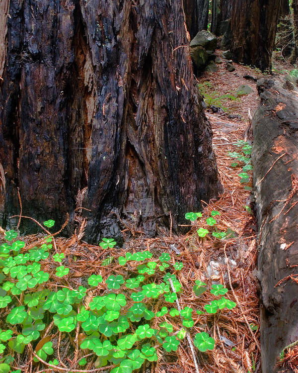 Clover Poster featuring the photograph Clover And Redwood by Charlie Hunt