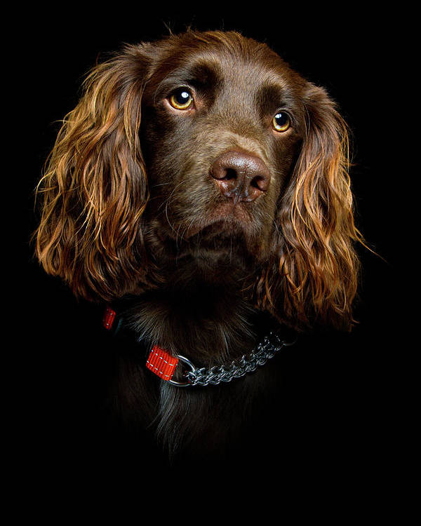 Vertical Poster featuring the photograph Cocker Spaniel Puppy by Andrew Davies