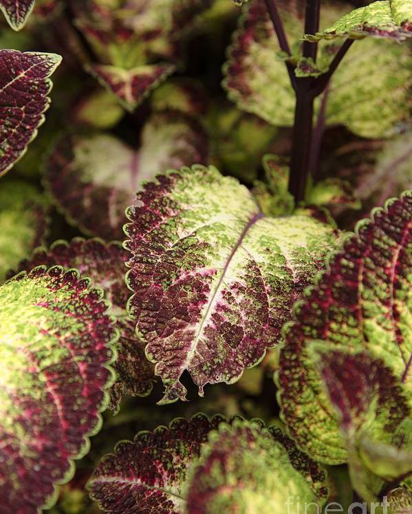 New England Poster featuring the photograph Coleus Plant by Erin Paul Donovan