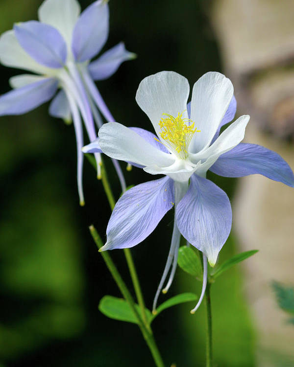 Beauty Poster featuring the photograph Colorado Blue Columbine by Crystal Garner