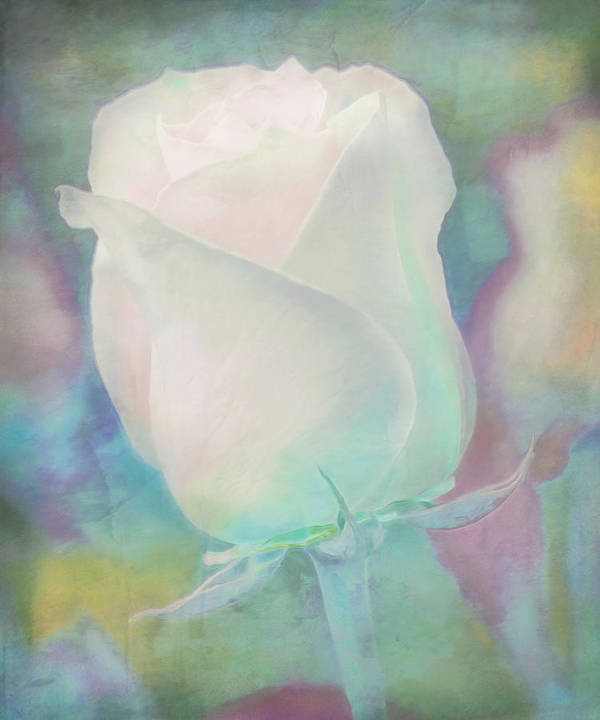 Pastel Poster featuring the photograph Colors Of This Rose by Hal Halli