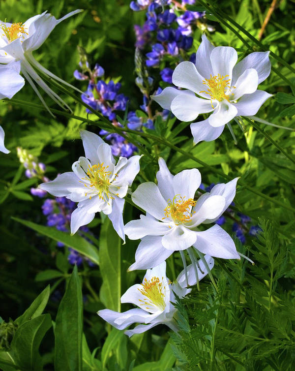 Beauty Poster featuring the photograph Columbines by Crystal Garner