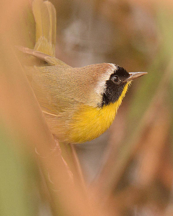 Warbler Poster featuring the photograph Common Yellow-throat In Hiding by Alan Lenk