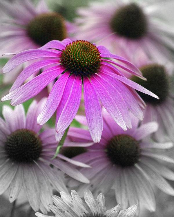 Flowers Poster featuring the photograph Coneflowers by Marty Koch