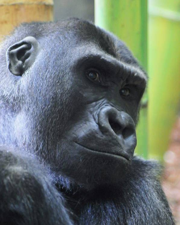 Gorilla Poster featuring the photograph Contemplation by Jennifer Englehardt
