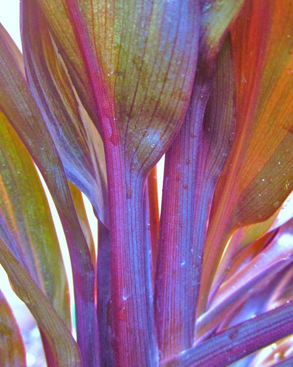 Poster featuring the photograph Cordyline Rainbow Leaves by Miss McLean
