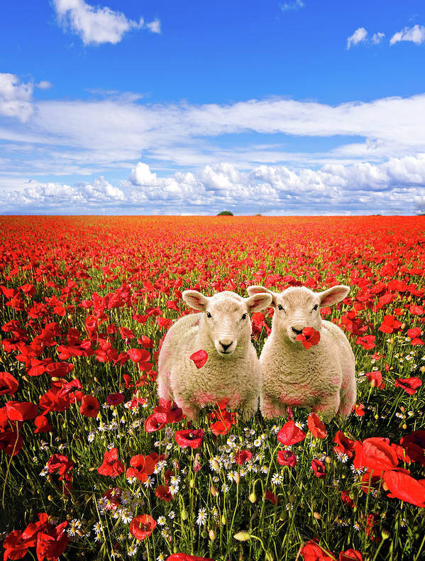 Landscape Poster featuring the photograph Corn Poppies And Twin Lambs by Meirion Matthias