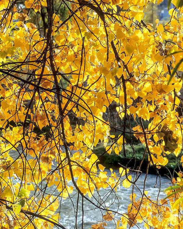 Cottonwood Poster featuring the photograph Cottonwood Tree Along The River by John Brink