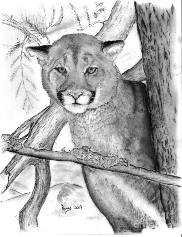 Cougar Poster featuring the drawing Cougar In Tree by Russ Smith