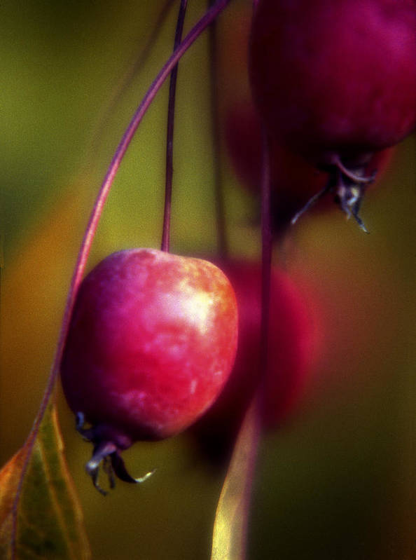 Macro Poster featuring the photograph Crabapple by Lee Santa
