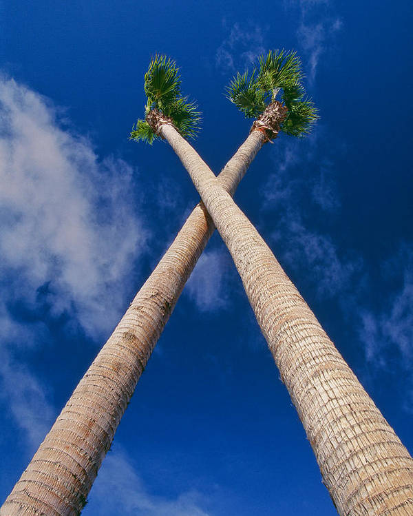 Blue Sky Poster featuring the photograph Crossed Palm Trees by Rich Iwasaki