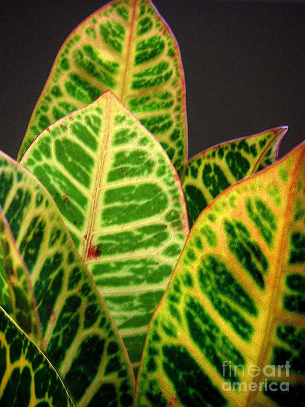 Nature Poster featuring the photograph Croton Leaves In Profile by Lucyna A M Green