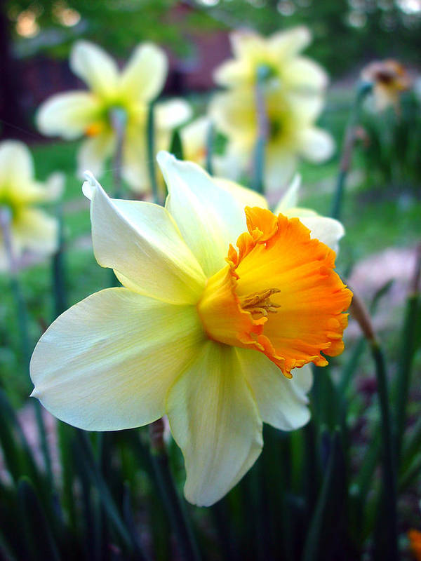 Daffodil Poster featuring the photograph Daffodil 2 by Sharon Crawford