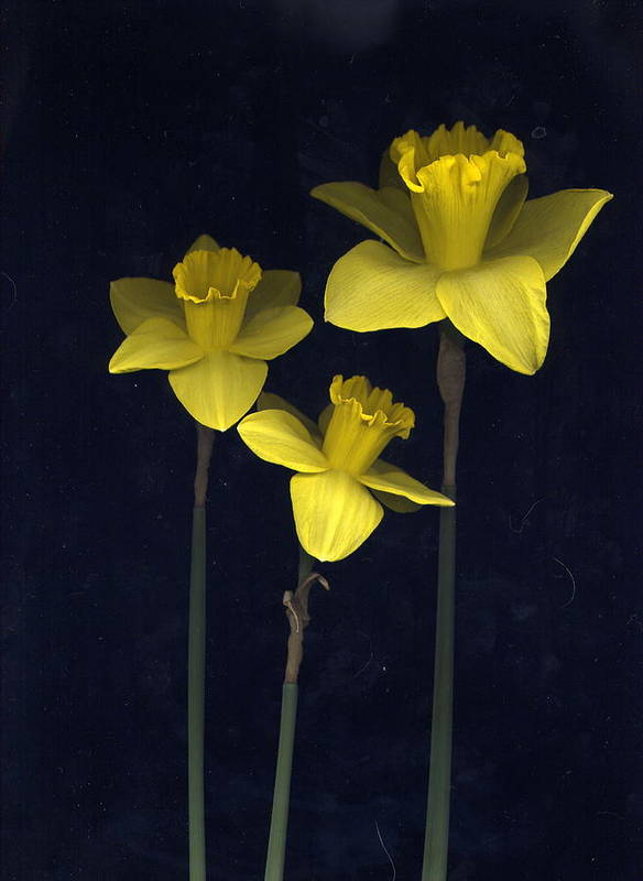 Nature Poster featuring the photograph Daffodilia II by William Thomas