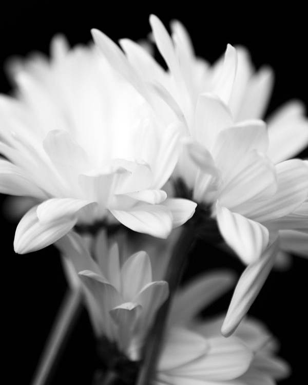 Floral Poster featuring the photograph Daises In Black And White by Ayesha Lakes
