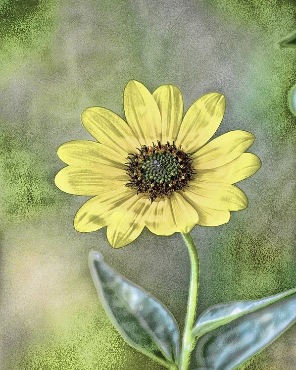 Flower Poster featuring the photograph Daisy by Tommy Simpson