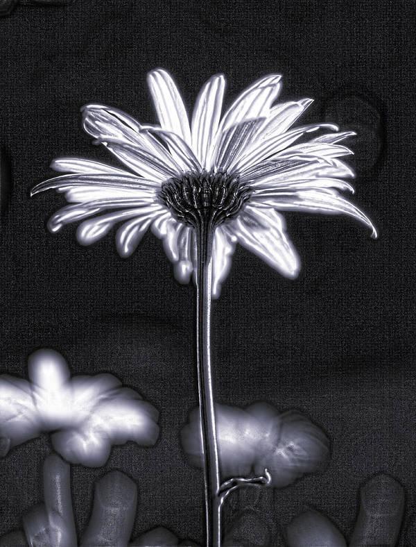 Black & White Poster featuring the photograph Daisy by Tony Cordoza