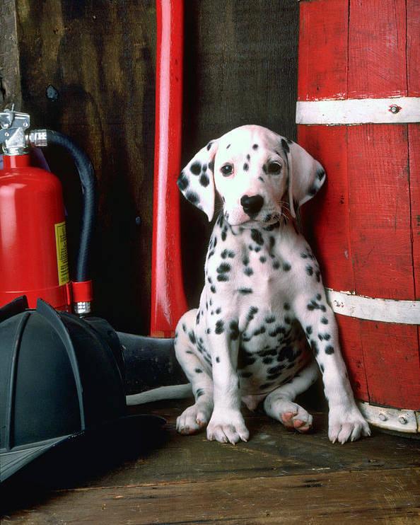 Dalmatian Puppy Fireman's Helmet Axe Barrel Poster featuring the photograph Dalmatian Puppy With Fireman's Helmet by Garry Gay