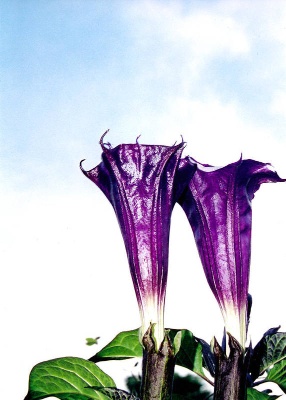 Flowers Poster featuring the photograph Datura Koluh by Vah Pall