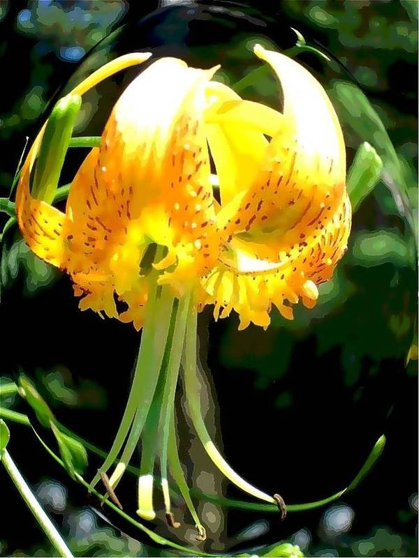Daylily Poster featuring the photograph Day Lily Sphere by Margie Avellino