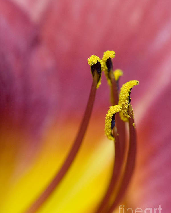 Daylily Poster featuring the photograph Daylily by Jeannie Burleson
