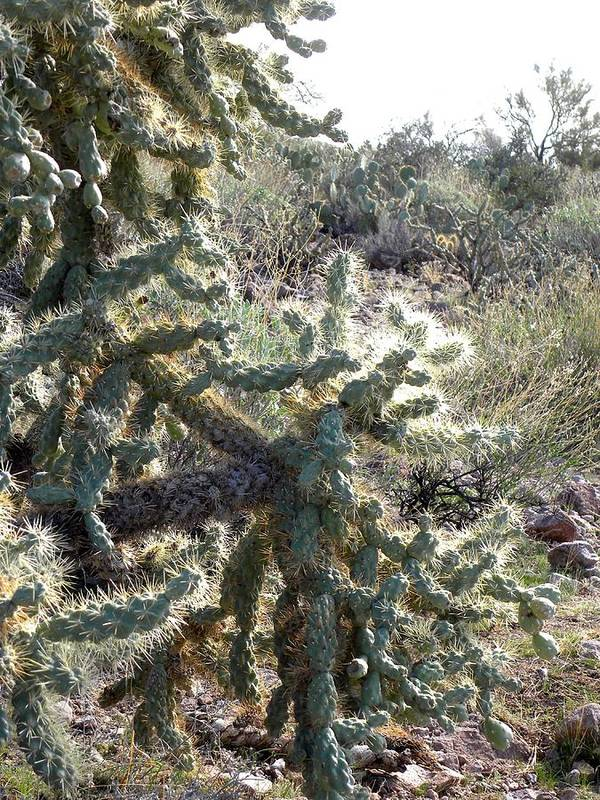 Photograph On Paper Poster featuring the photograph Desert Cactus 4 by Patricia Bigelow