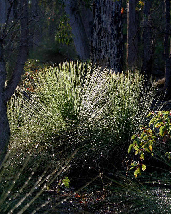 Plant Poster featuring the photograph Dew On A Grass Tree by Tony Brown