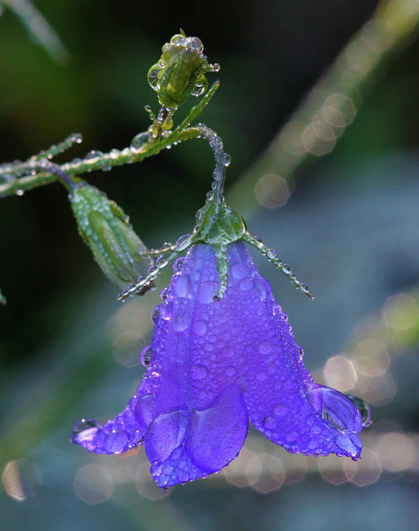 Beauty Poster featuring the photograph Dewy Bluebell by Crystal Garner
