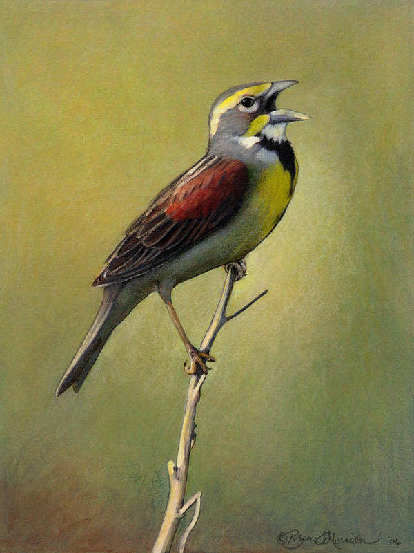 Birds Poster featuring the drawing Dickcissel Summer Song by Bruce Morrison