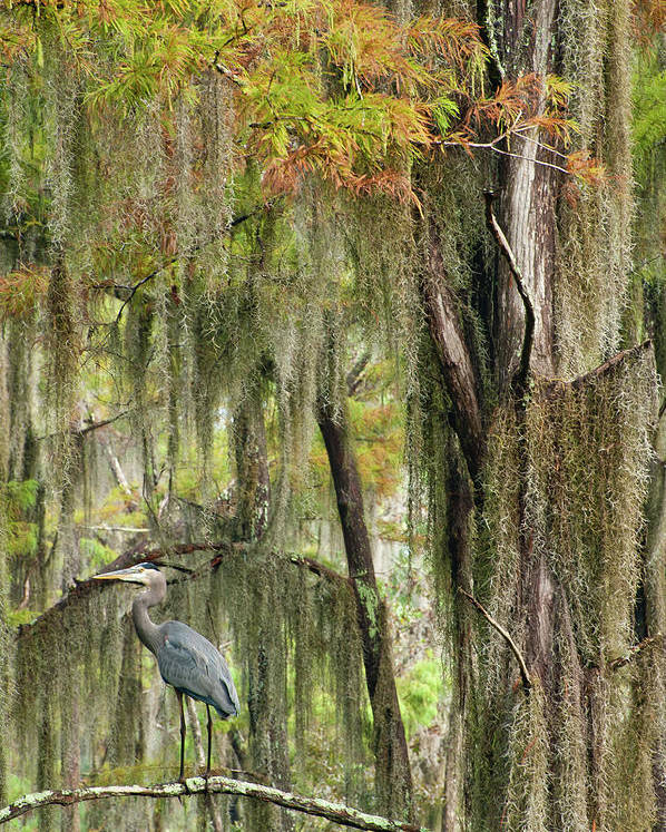 Cypress Trees Poster featuring the photograph Distance Call by Iris Greenwell
