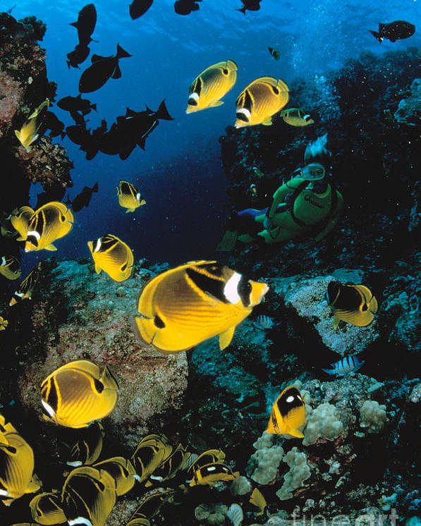 Animal Art Poster featuring the photograph Diver And Butterflyfish by Dave Fleetham - Printscapes