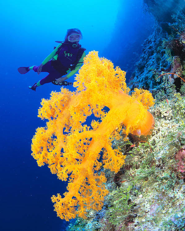 Alcyonarian Poster featuring the photograph Diving, Australia by Dave Fleetham - Printscapes