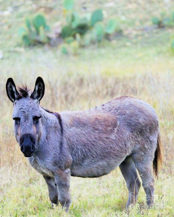 Poster featuring the photograph Donkey 007 by Jeff Downs