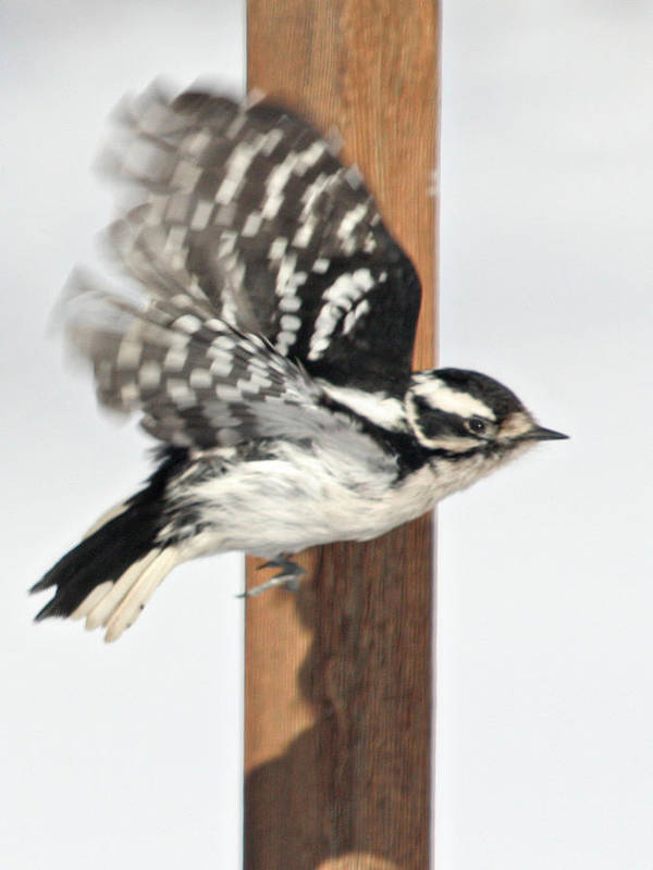 Bird Poster featuring the photograph Downy Woodpecker In Flight by Laurie With