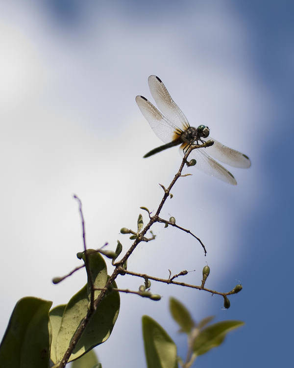 Dragonfly Poster featuring the photograph Dragonfly On A Limb by Dustin K Ryan