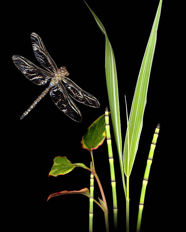 Dragonfly Poster featuring the photograph Dragonfly Wings by Sandi F Hutchins