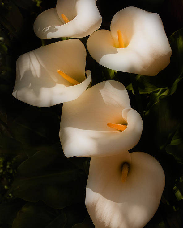 Calla Lily Poster featuring the photograph Dreamy Lilies by Mick Burkey