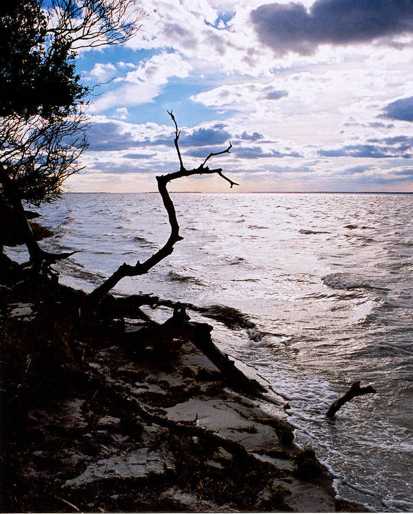 Barnegat Poster featuring the photograph Driftwood Dragon-barnegat Bay by Steve Karol